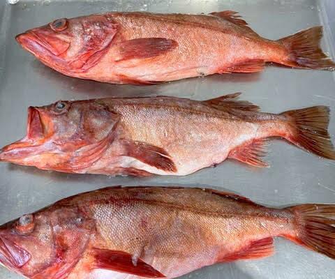 bocaccio rockfish on a scale