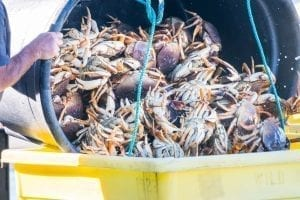 Thumbnail for the post titled: Plug Pulled on Dungeness Crab Season