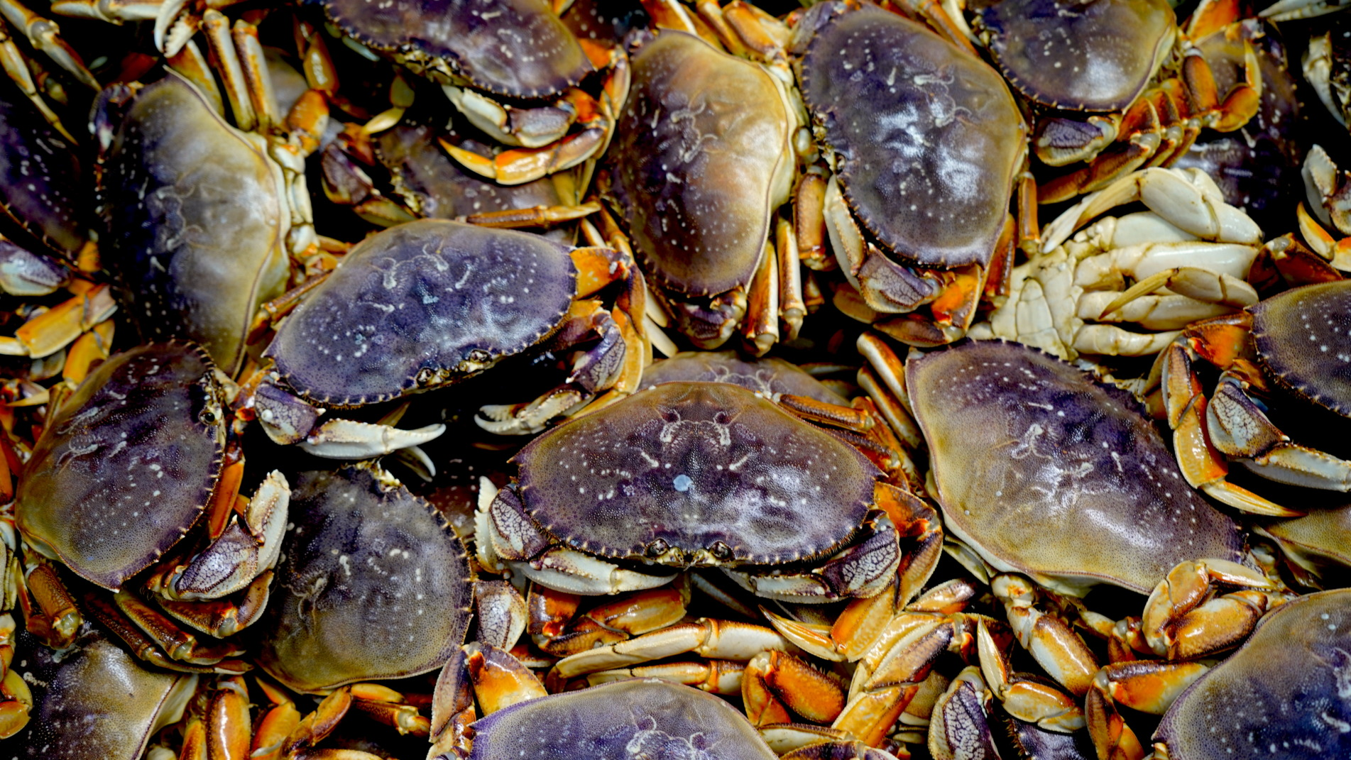 whole live dungenes crab